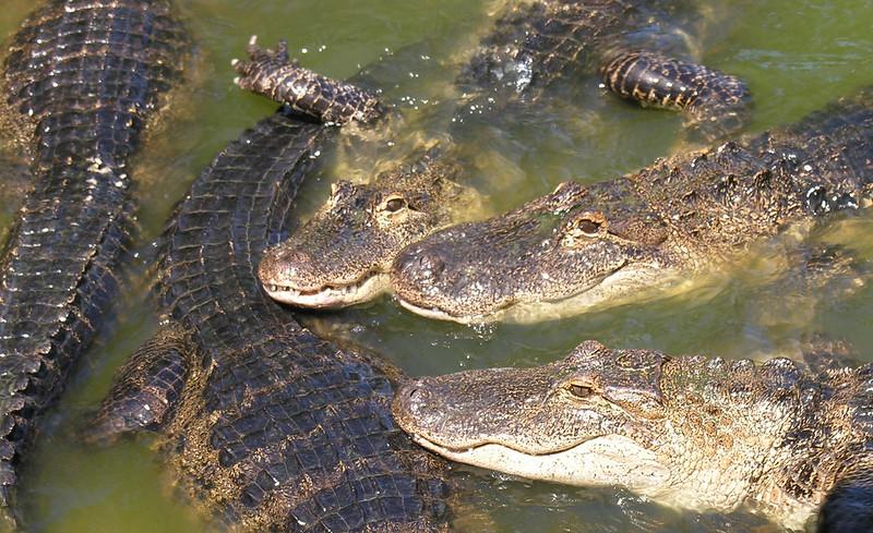 Alligators aren't Naturally Aggressive towards Human