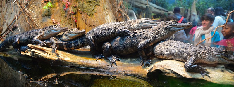 Alligators are Family-oriented