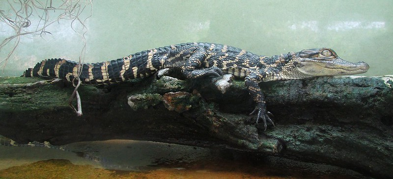 Alligators have continuous Growth
