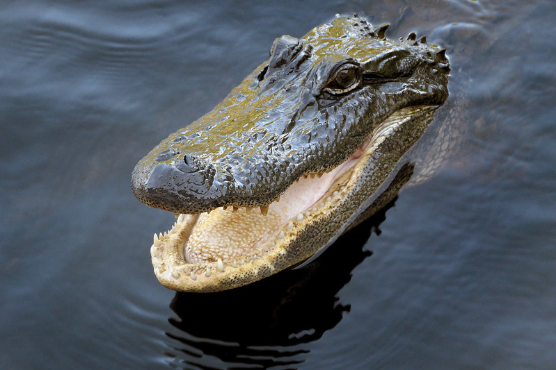 Alligators are Extremely Toothy