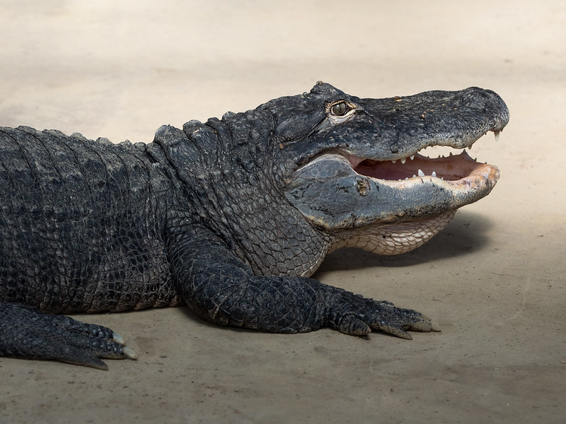Alligators are Vocal Reptiles