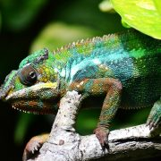 Madagascar consists of more than 50% of Chameleon Population